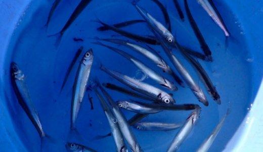 【ボウズ回避】初めての相模湖でのワカサギ釣りはドーム船を選ぼう!