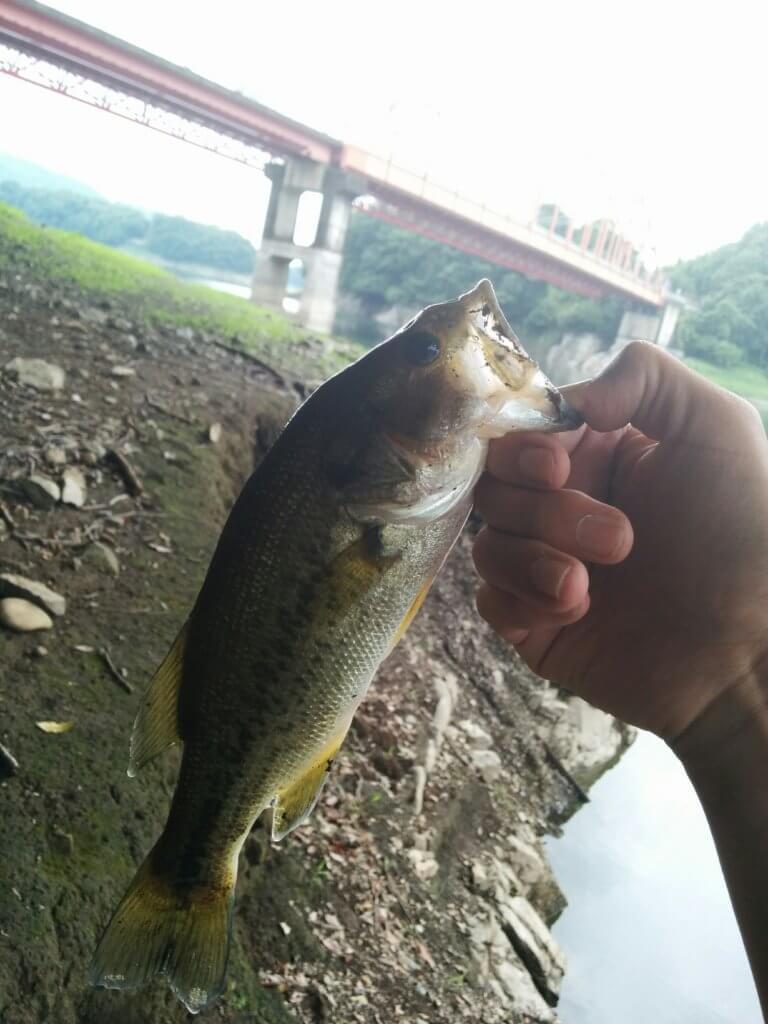 津久井湖のおかっぱりで釣ったバス